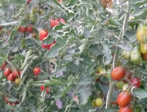 "Tomaten ""Blackplum"""